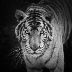 MCZ35 - WHITE TIGER