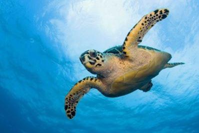 MCA12 - HAWKSBILL SEA TURTLE